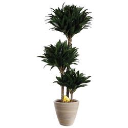 BCM Zimmerpflanze Drachenbaum Compacta