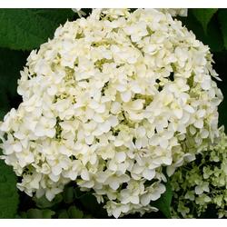 BCM Gehölze Hortensie Strong Annabell, Höhe: 50-60 cm, 2 Pflanze