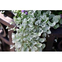 BCM Beetpflanze Silberregen