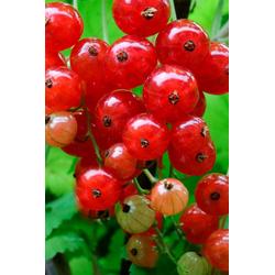 BCM Obstpflanze Johannisbeere Red Lake, Höhe: 30-40 cm, 2 Pflanzen