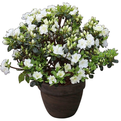 BCM Gehölze Rhododendron Japanische Azalee Schneeperle, Höhe: 25 cm, 1 Pflanze