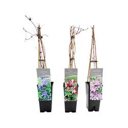 3 Kletterpflanzen