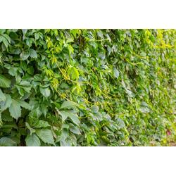 BCM Kletterpflanze Wilder Wein inserta Spar-Set, Lieferhöhe ca. 100 cm, 2 Pflanzen