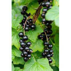 BCM Obstpflanze Säulenobst Schwarze Johannisbeere Andega, Höhe: 50 cm, 1 Pflanze