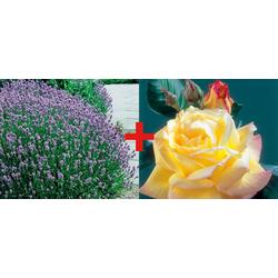 BCM Beetpflanze Rose Rose Peace & Lavendel Set