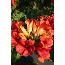 BCM Kletterpflanze Klettertrompete 'Fire Trumpet', Lieferhöhe: ca. 60 cm, 1 Pflanze