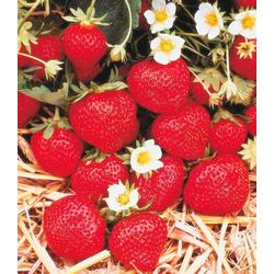 BCM Obstpflanze Erdbeere Korona