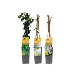 Schinner-Schlingpflanzen-Mix »Bienenfreunde«