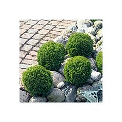 Streichellebensbaum Teddy  im ca. 17 cm-Topf