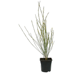 BCM Beetpflanze Ginster, Lieferhöhe ca. 40 cm, 1 Pflanze