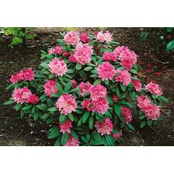 BCM Hecken Rhododendron Herbstzauber