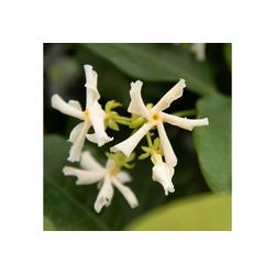 BCM Kletterpflanze Sternjasmin 'Winter Ruby' ® Spar-Set, Lieferhöhe: ca. 60 cm, 2 Pflanzen