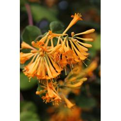 BCM Kletterpflanze Bienen Kletterset Spar-Set, Lieferhöhe: ca. 60 cm, 4 Sorten: Campsis, Clematis, Efeu, Heckenkirsche