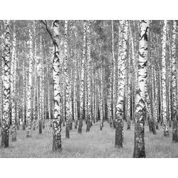 living walls Fototapete Birkenwald, glatt, Wald, Vlies