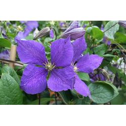BCM Kletterpflanze Waldrebe blau, Lieferhöhe: ca. 80 cm, 1 Pflanze