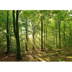 Fototapete Forrest morning, glatt 2,50 m x 1,86 m