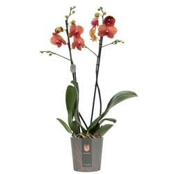 Orchidee 'Surf Song' 2-Trieber 12 cm Topf
