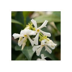 BCM Kletterpflanze Sternjasmin 'Theta', Lieferhöhe: ca. 60 cm, 1 Pflanze