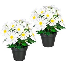 Künstliche Zimmerpflanze Khloe Margeritenbusch, my home, Höhe 30 cm, 2er Set