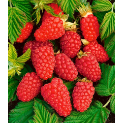 BCM Obstpflanze Tayberry®, 40 cm Lieferhöhe