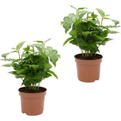 Dominik Zimmerpflanze Kaffee-Pflanzen, Höhe: 15 cm, 2 Pflanzen