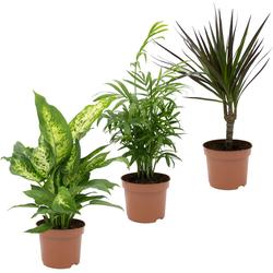 Dominik Zimmerpflanze Grünpflanzen-Set, Höhe: 30 cm, 3 Pflanzen