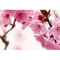 Fototapete »Peach Blossom«, Tapeten, 793394-0 rosa (B/H): 350/260 cm rosa