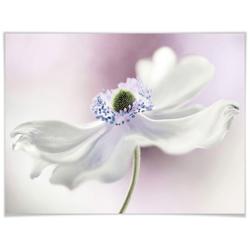 Wall-Art Poster Anemone, Pflanzen (1 Stück) 50 cm x 40 cm x 0,1 cm