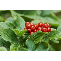 BCM Gehölze Teppich-Hartriegel, 3 Pflanzen