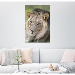 Posterlounge Wandbild, Löwe mit Kulleraugen 61 cm x 91 cm