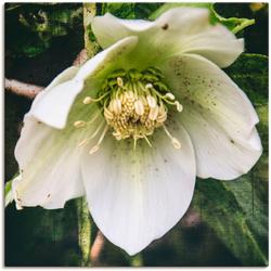 Artland Wandbild Lenzrose, Blumen (1 Stück) 40 cm x 40 cm