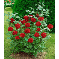 BCM Beetpflanze Edelrose Ingrid Bergmann®
