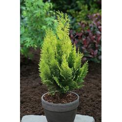 BCM Hecken Gelbe Scheinzypresse, 4 Pflanzen