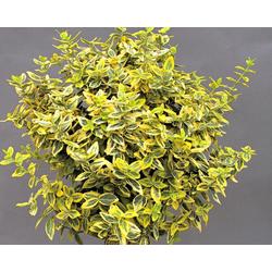 BCM Beetpflanze Bodendecker Kriechspindel 'Emerald n Gold