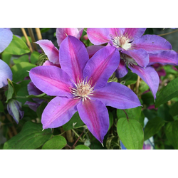 BCM Beetpflanze Clematis Mrs N Thompson, 2 Pflanzen