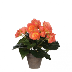 Mica Begonia in Topf lachs, 25 x 20 cm