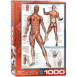 empireposter Puzzle Anatomie - Die menschliche Muskulatur - 1000 Teile Puzzle im Format 68x48 cm, 1000 Puzzleteile