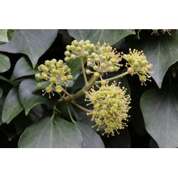 BCM Kletterpflanze Efeu helix Spar-Set, Lieferhöhe ca. 60 cm, 2 Pflanzen