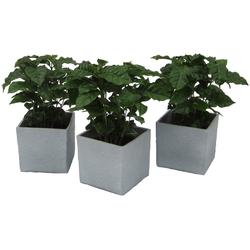 Dominik Zimmerpflanze Kaffee-Pflanzen, Höhe: 30 cm, 3 Pflanzen in Dekotöpfen