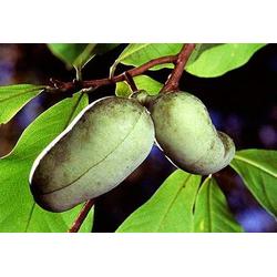 BCM Obstbaum Indianerbanane Paw Paw®