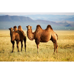 Fototapete Mongolian Camels, glatt 3,50 m x 2,60 m