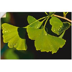 Artland Wandbild Ginkgo Blätter, Blätter (1 Stück) 60 cm x 40 cm