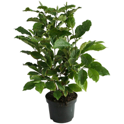 BCM Gehölze Magnolie 'Jade Lamp' Spar-Set, Lieferhöhe ca. 60 cm, 2 Pflanzen