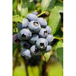 BCM Obstpflanze Heidelbeere Duke, Höhe: 70 cm, 2 Pflanzen
