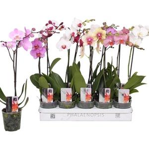 1 Stück Phalaenopsis 50-60 cm / 1 Trieb Blüten - Orchideen - Topforchidee