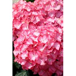 BCM Gehölze Hortensie Pink Annabell, Höhe: 50-60 cm, 2 Pflanze