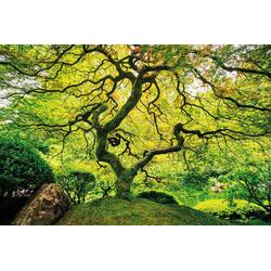 Fototapete Japanese Maple Tree, glatt 2,50 m x 1,86 m