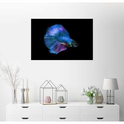 Posterlounge Wandbild, Blauer Kampffisch 91 cm x 61 cm