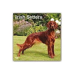 Irish Setters - Irish Setter 2020