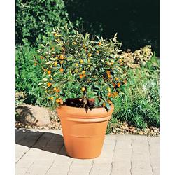 BCM Zitronenbaum Kumquat weiß Pflanzen Garten Balkon